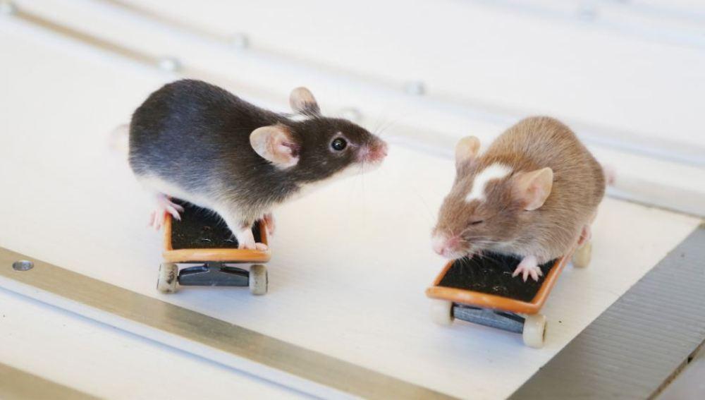 Dos de los ratones descansando