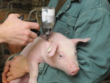 La vacunación de los animales evita el abuso de antibióticos